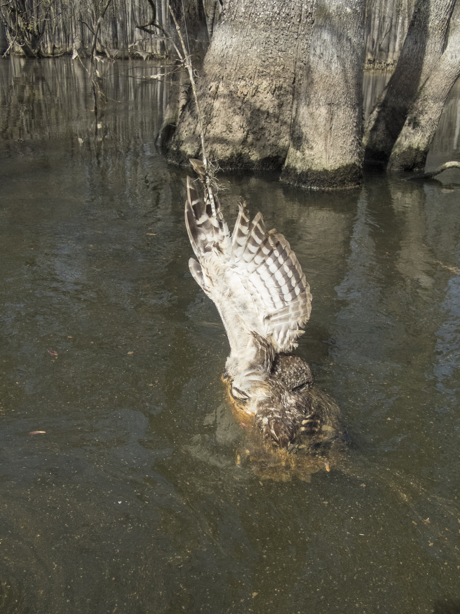 barred owl carcass tied in fishing line