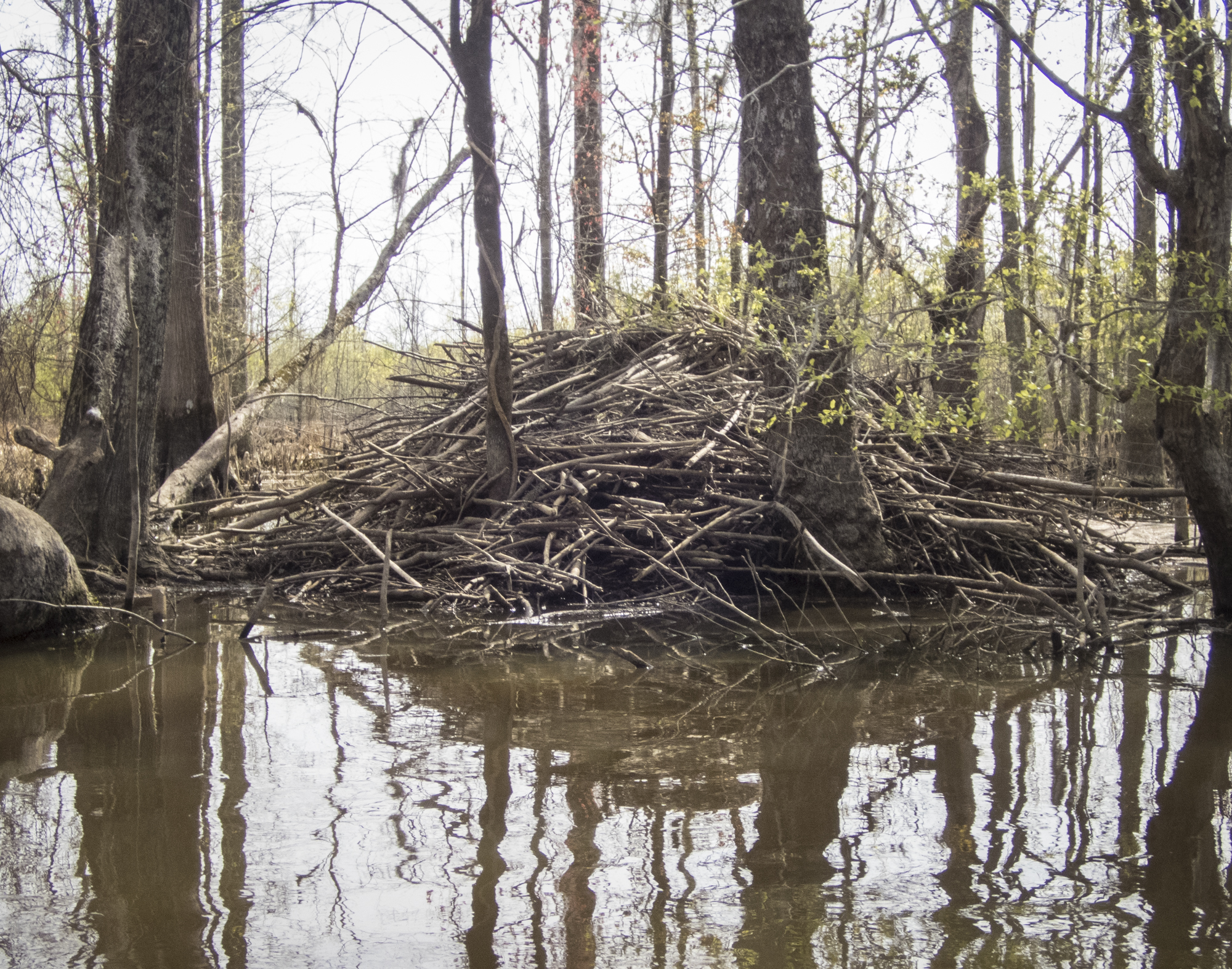 beaver lodge along Devil's Gut