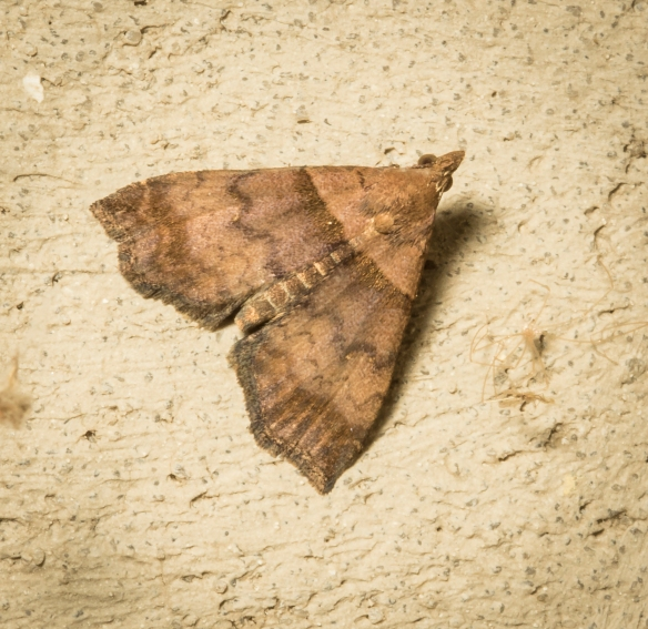 Ambiguous moth, Lascoria ambigualis