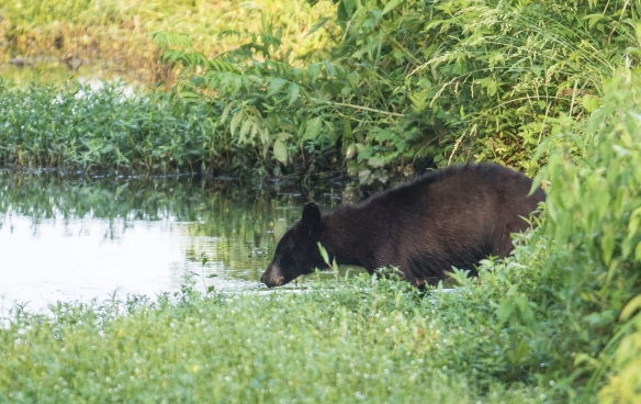Black bear entering canal