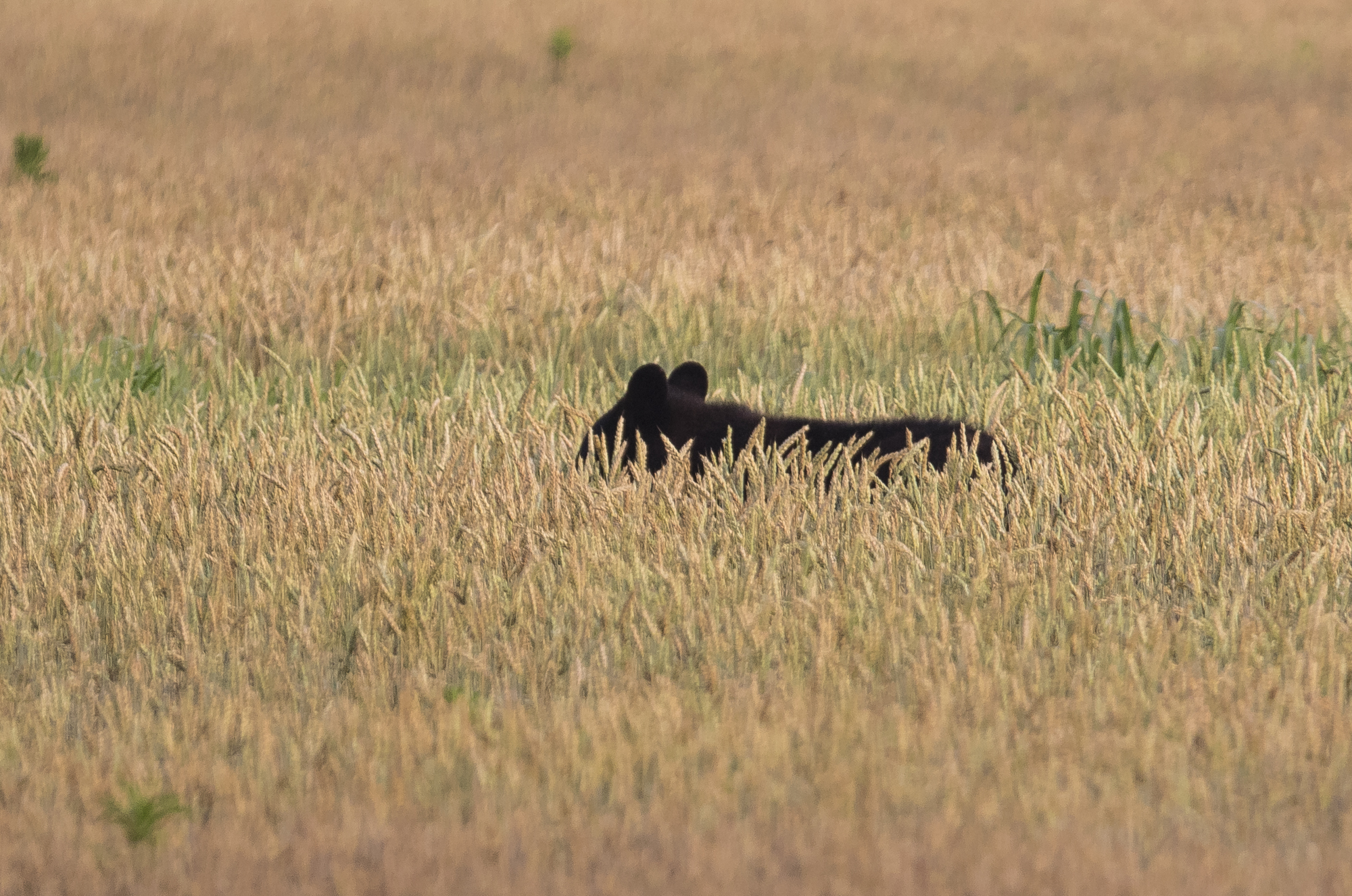 Black bear in wheat field