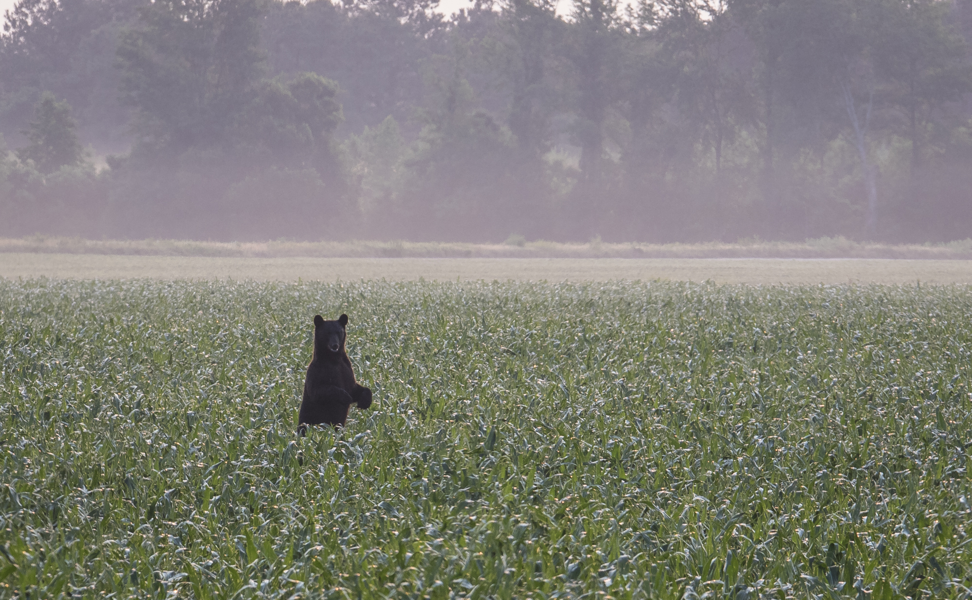 Black bear standing in field