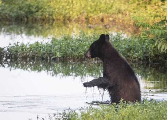 Black bear starts across canal 1
