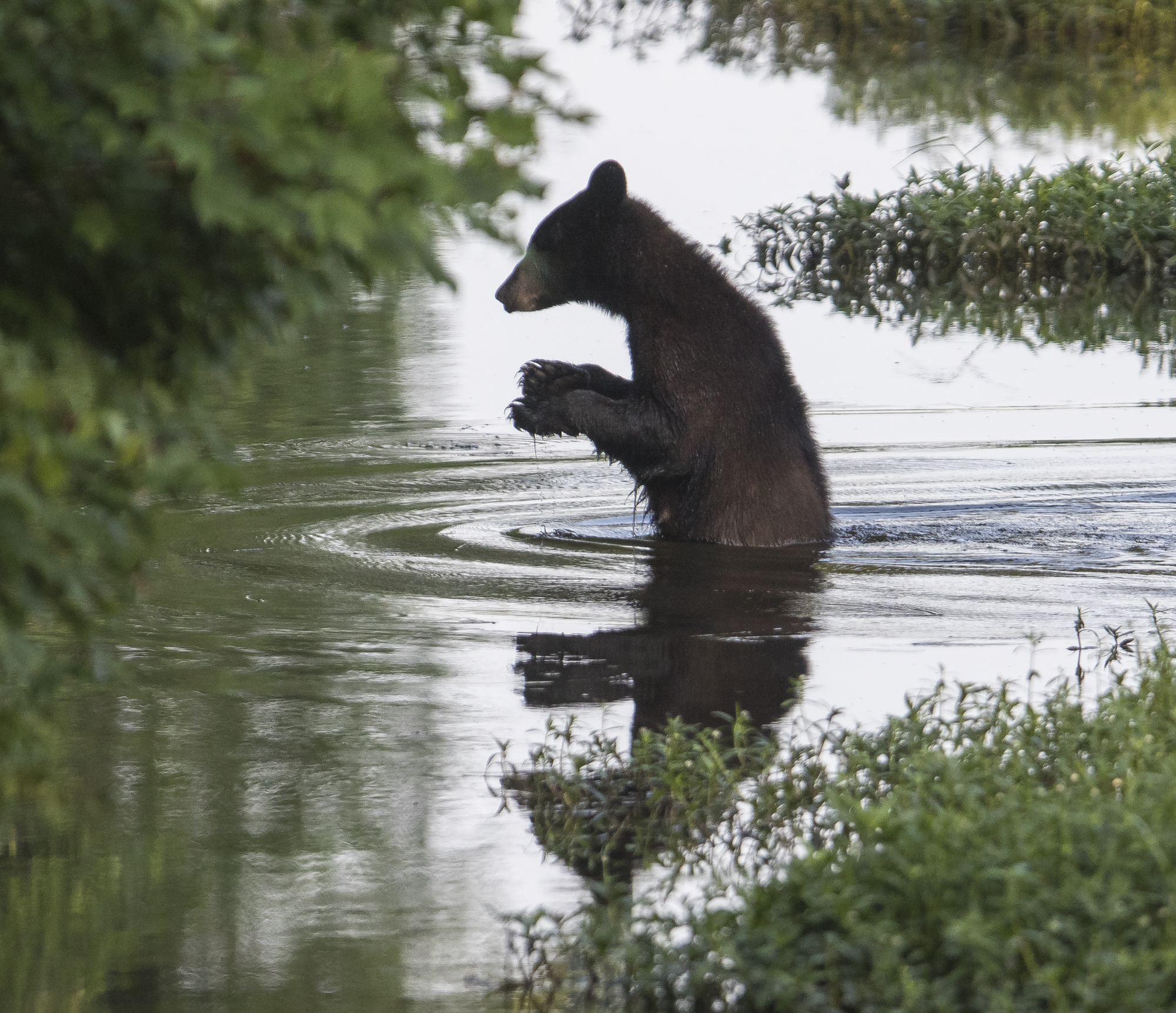 Black bear walking across canal