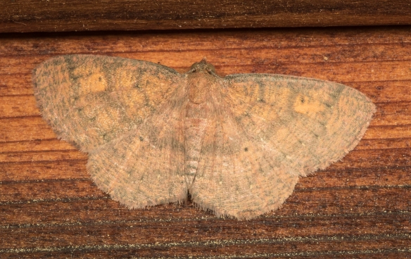 Black-dotted ruddy moth, Ilexia intractata