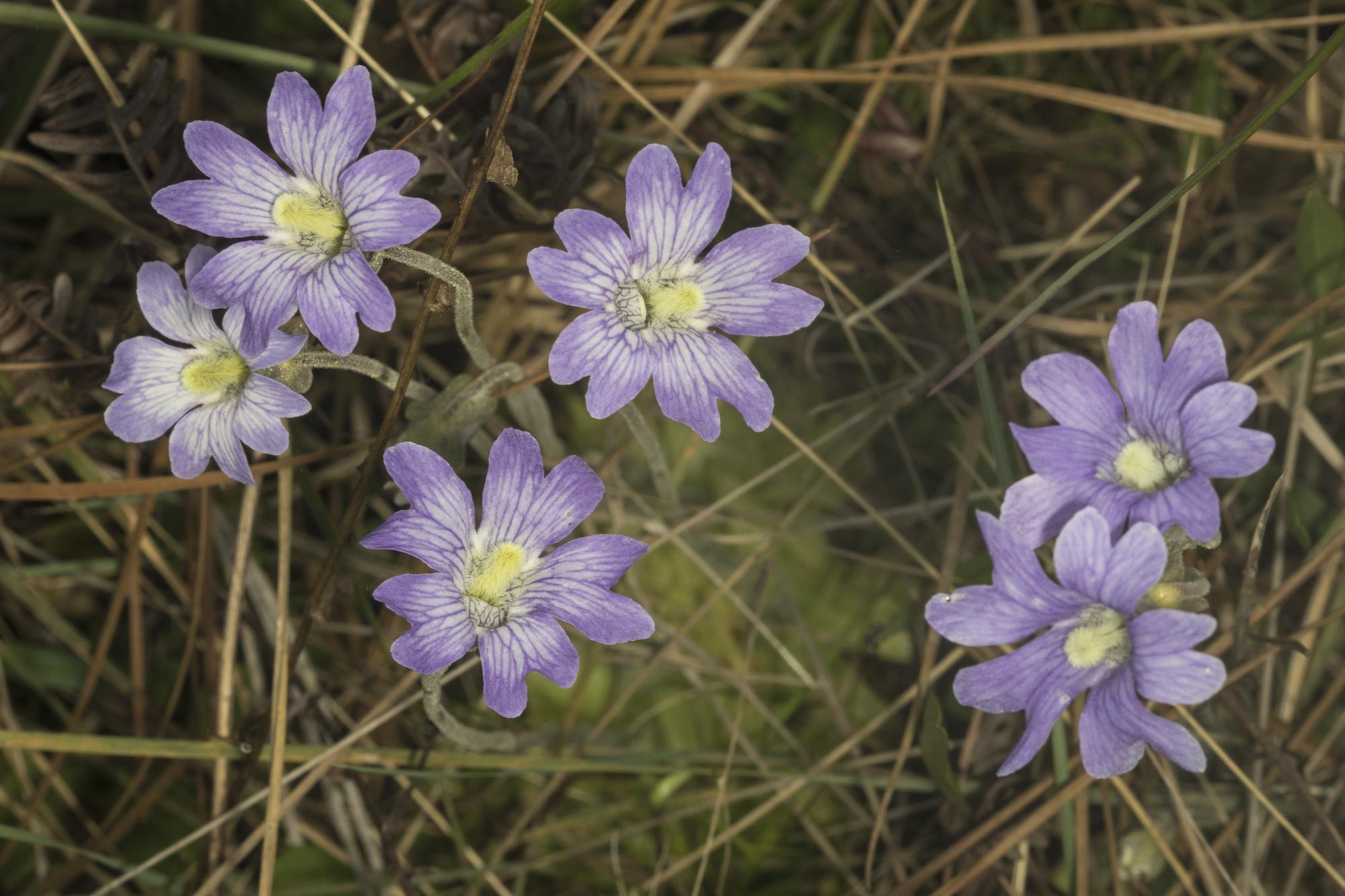 Butterwort flowers