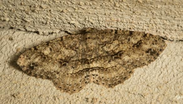 Canadian Melanolophia moth, Melanolophia canadaria 1