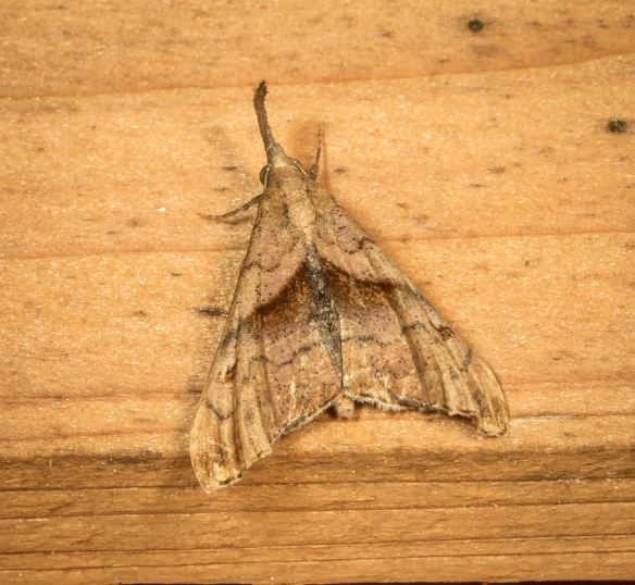 Dark-spotted Palthis moth, Palthis angulalis