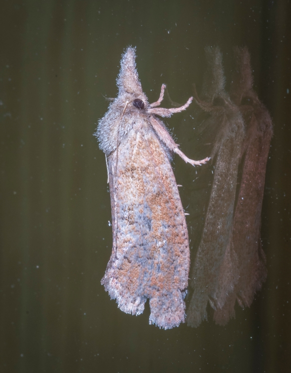 Eastern grass tubeworm moth, Acrolophus plumifrontella 3
