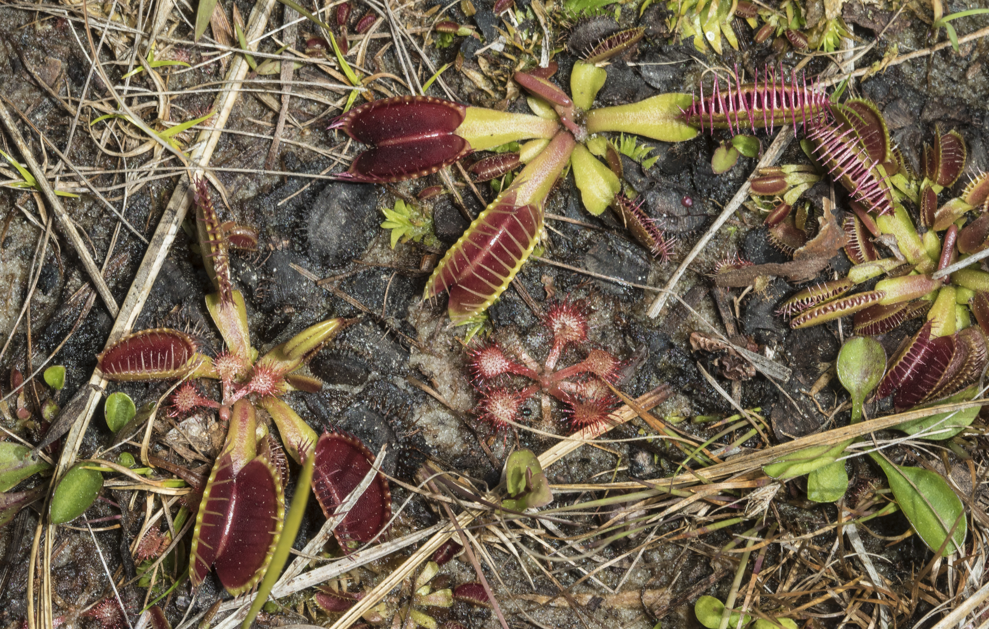 Flytraps and sundews