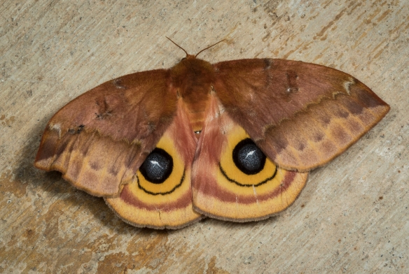 Io moth, Automeris io with wings spread
