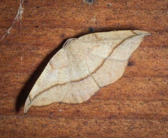 Juniper twig geometer, Patalene olyzonaria
