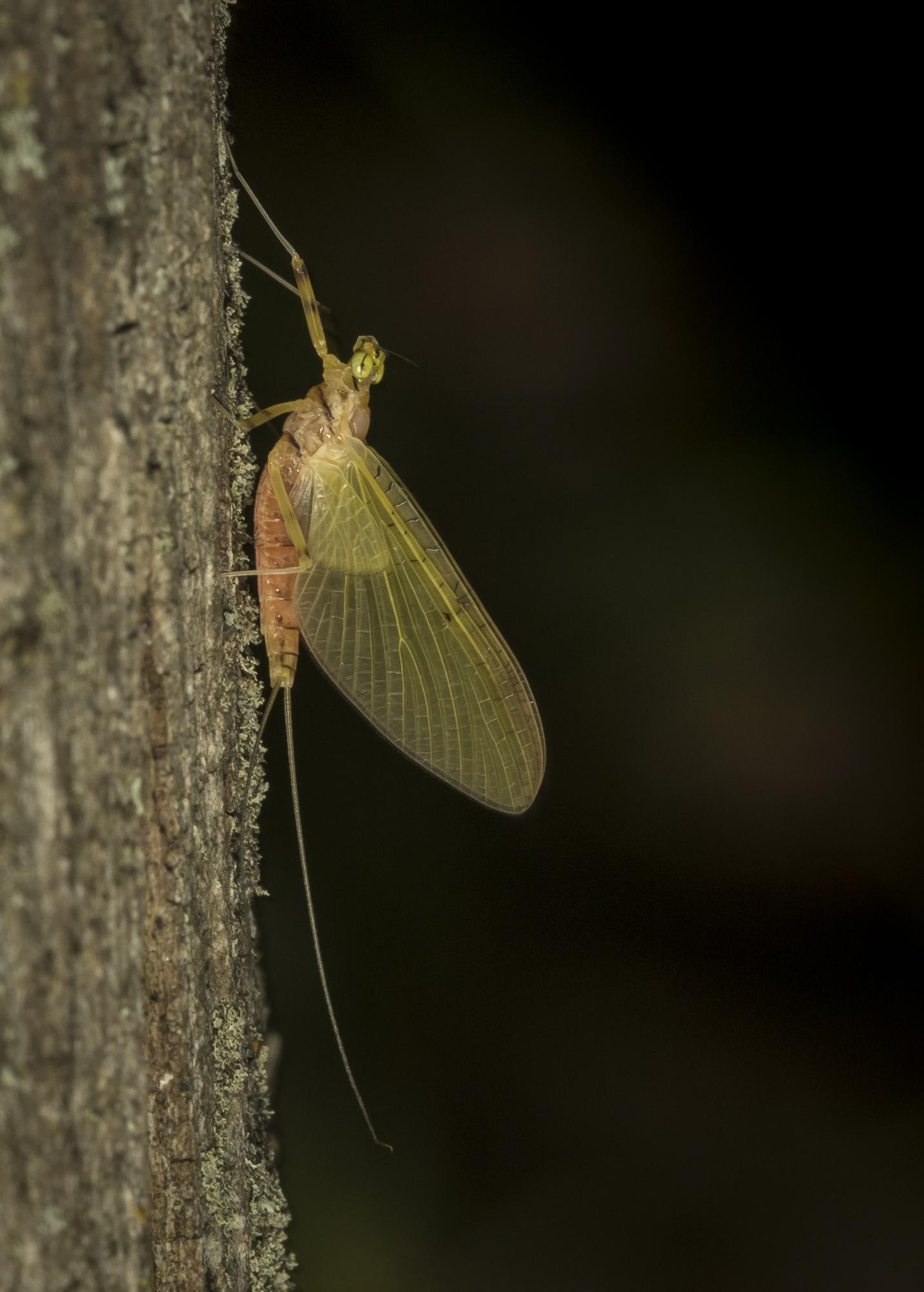 mayfly on tree 1