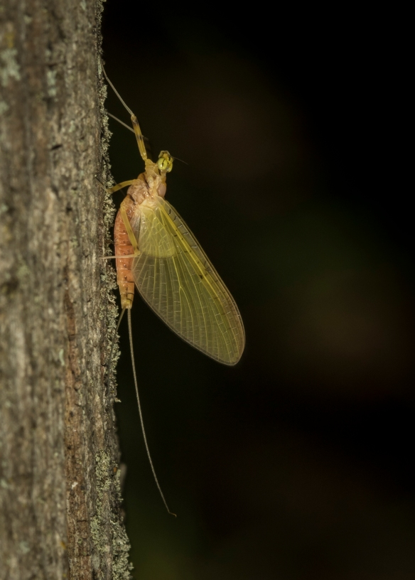 mayfly on tree 1
