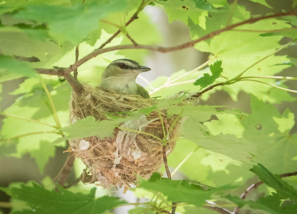 Red-eyed vireo on nest