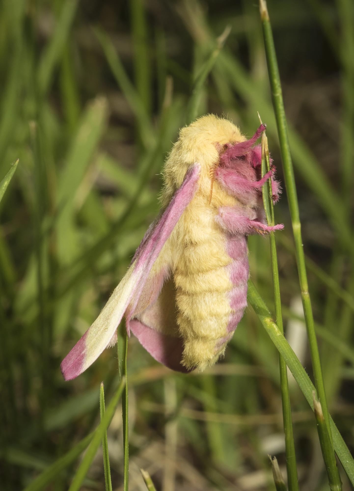 rosy maple moth emerging
