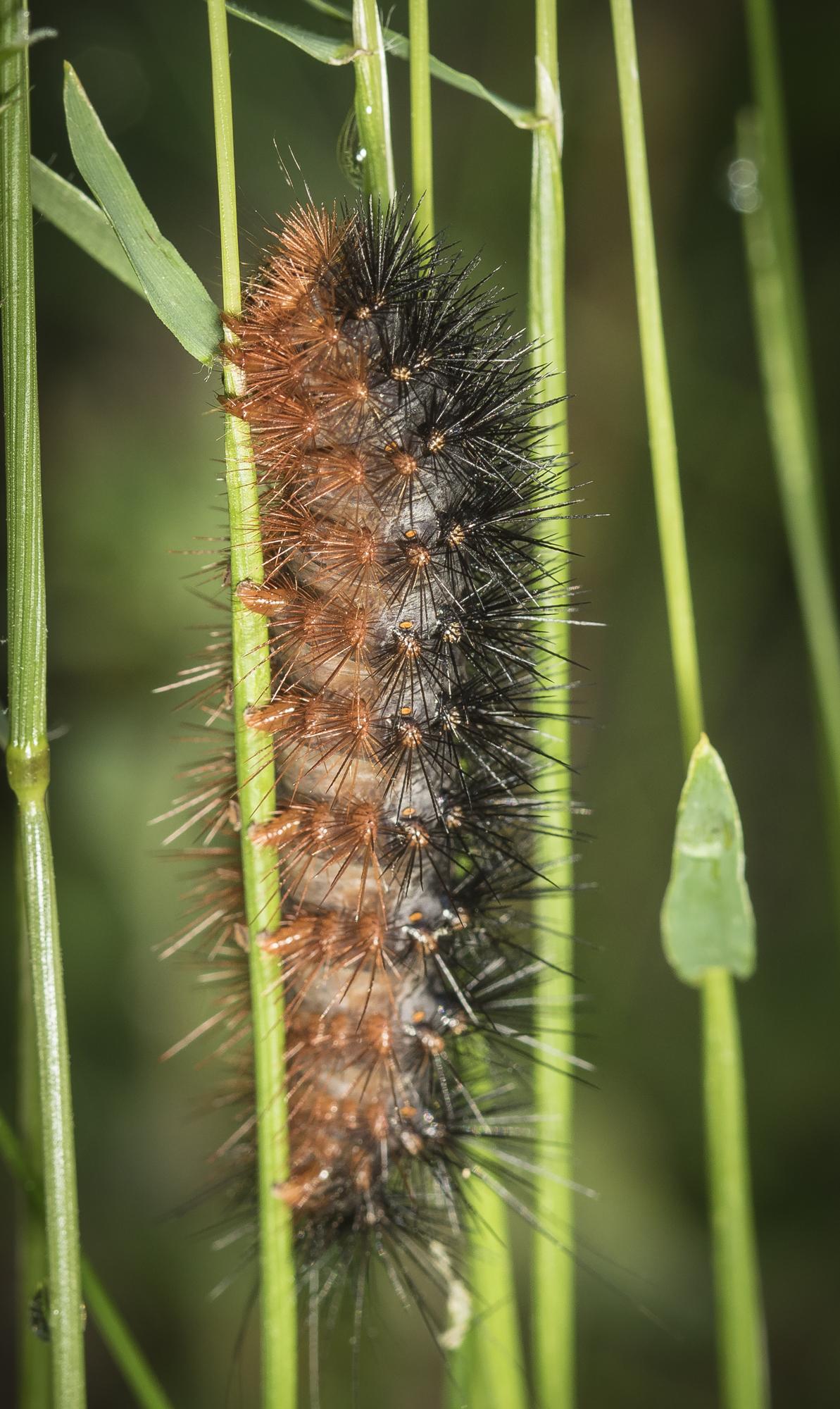 Salt marsh caterpillar?