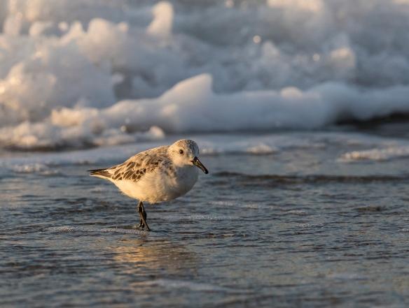 Sanderling at sunrise 1