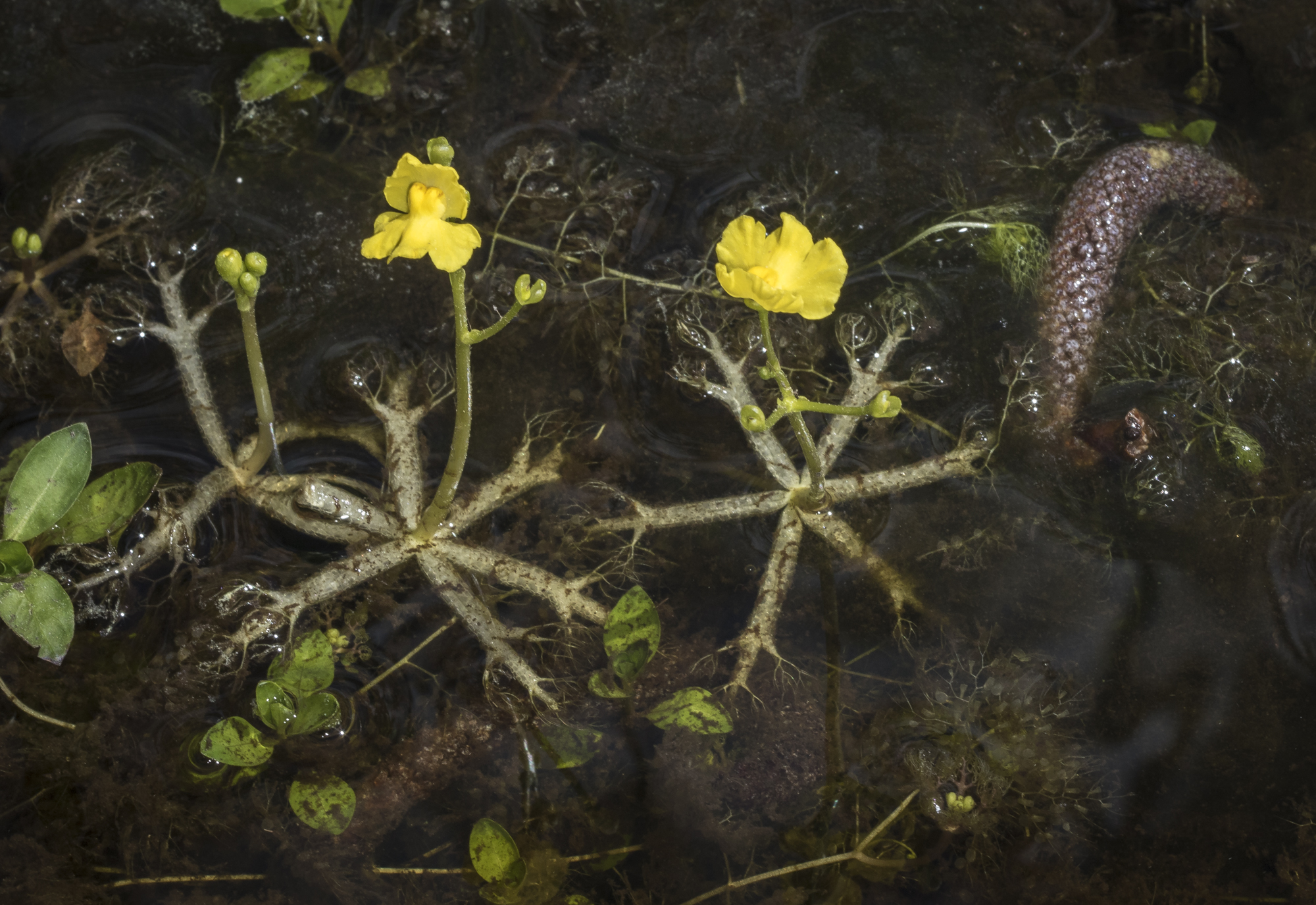 Utricularia radiata?