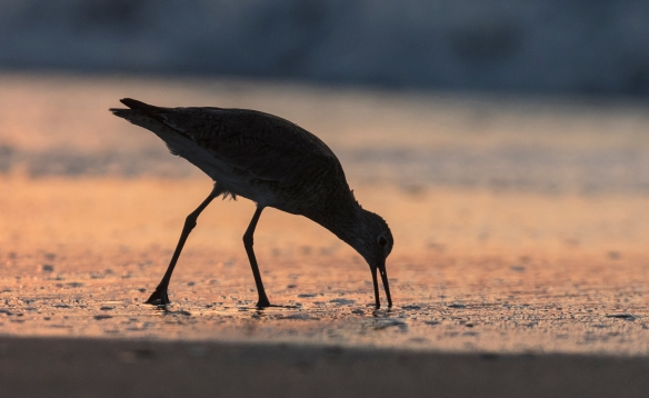 Willet feeding at sunrise