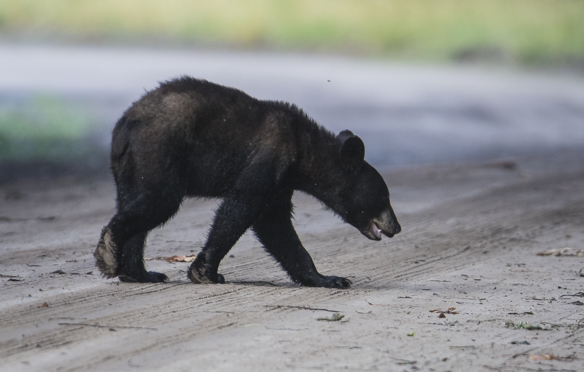 Young black bear crossing road 2