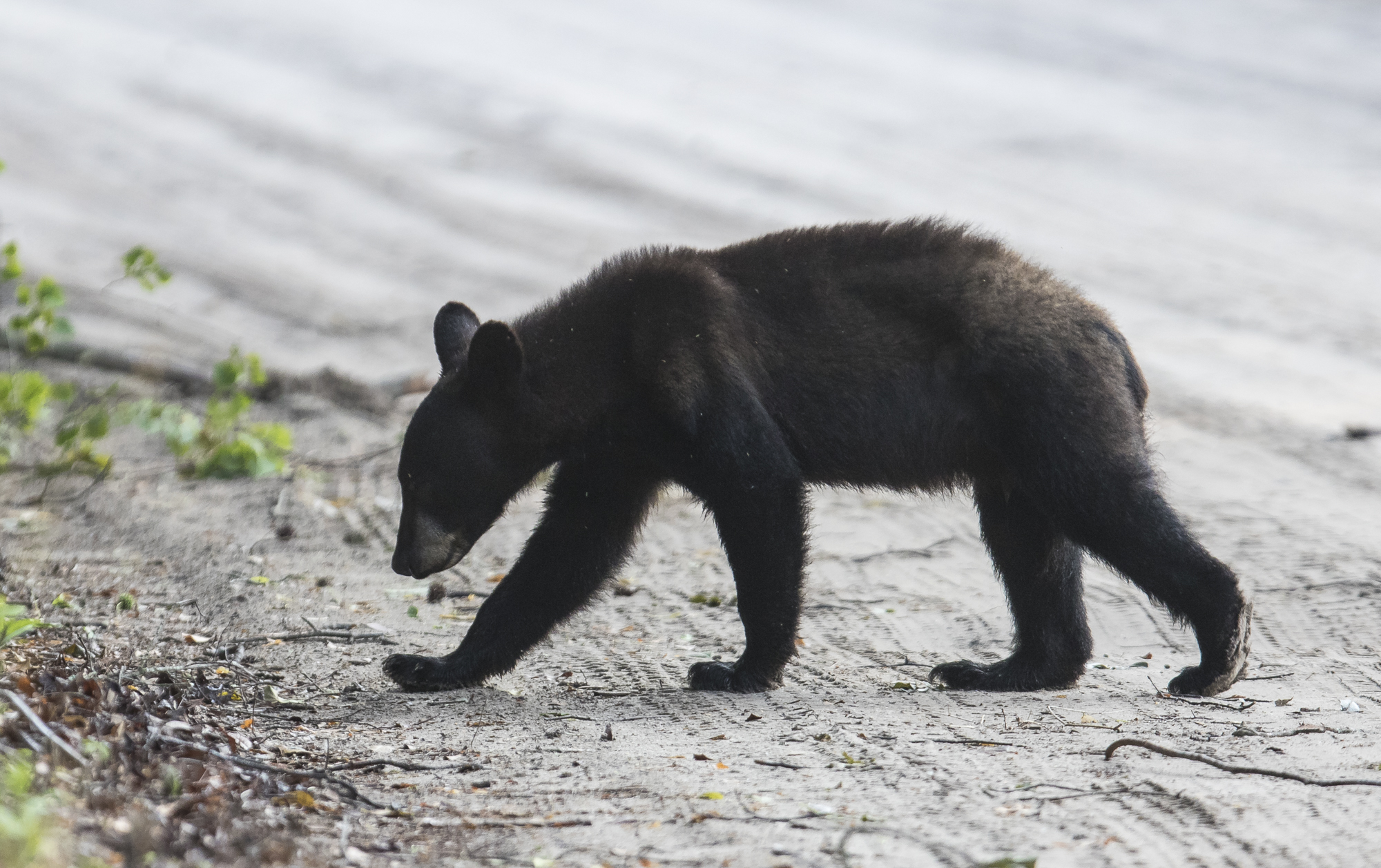 Young black bear crossing road