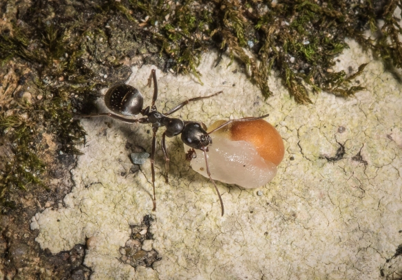 ant carrying trilliun seed by the elaiosome 1