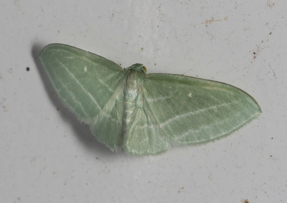 Bad-wing moth, Dyspteris abortivaria