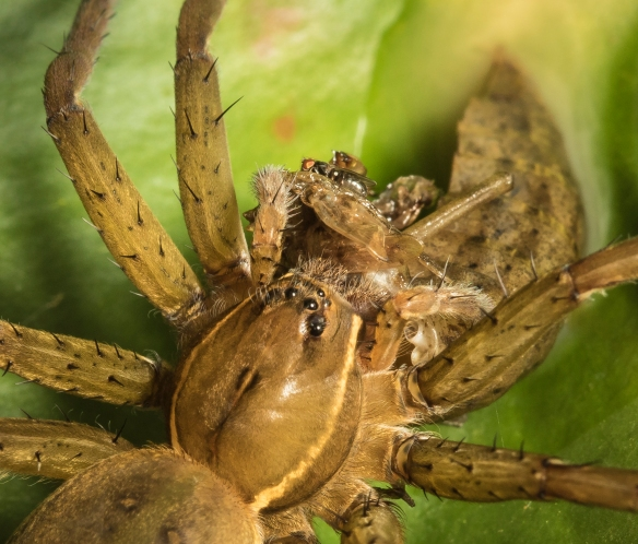 Fishing spider with dragonfly nymph prey close up