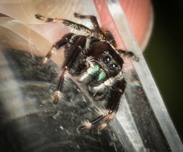 Jumping spider (Phidippus clarus?)