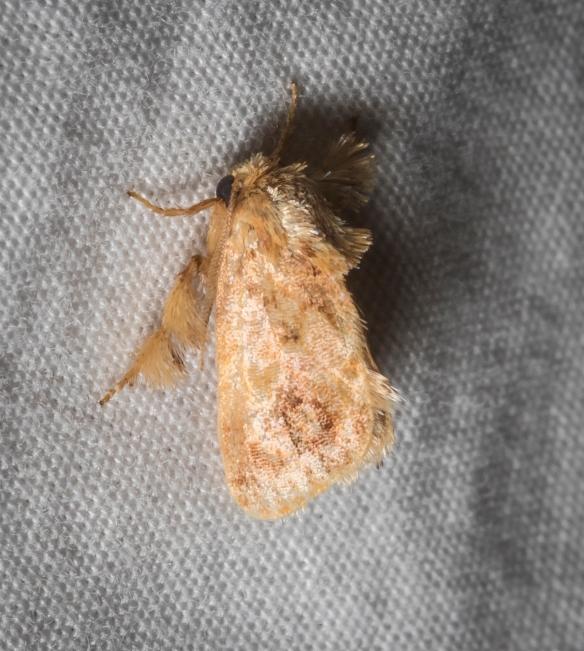 Spun glass slug moth, Isochaetes beutenmuelleri