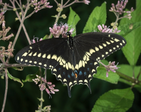 Black swallowtail on joe pye weed
