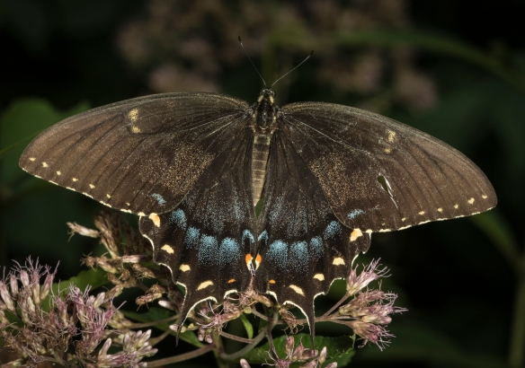 dark morph female eastern tiger swallowtail on joe pye weed