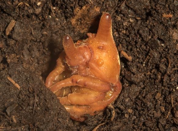 Eastern Hercules Beetle pupa