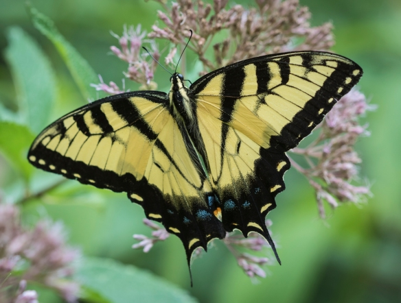 Eastern tiger swallowtail male