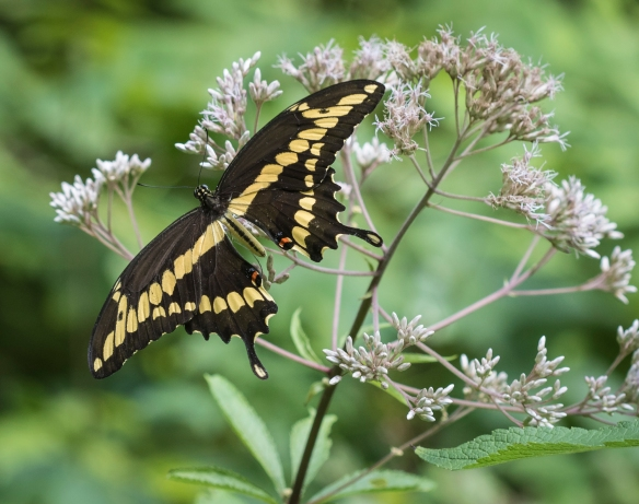 Giant swallowtail on Joe-Pye-Weed wings spread 2