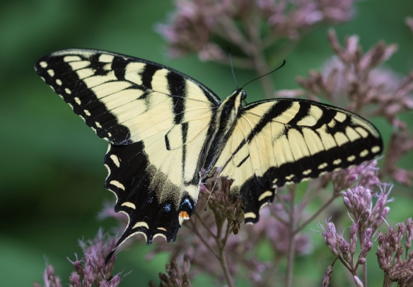 Wing torn on female Eastern Tiger swallowtail
