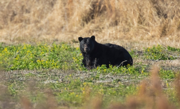 Black bear ARNWR