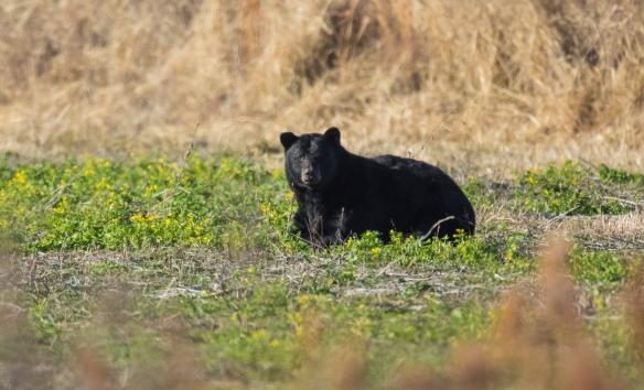 Black bear ARNWR