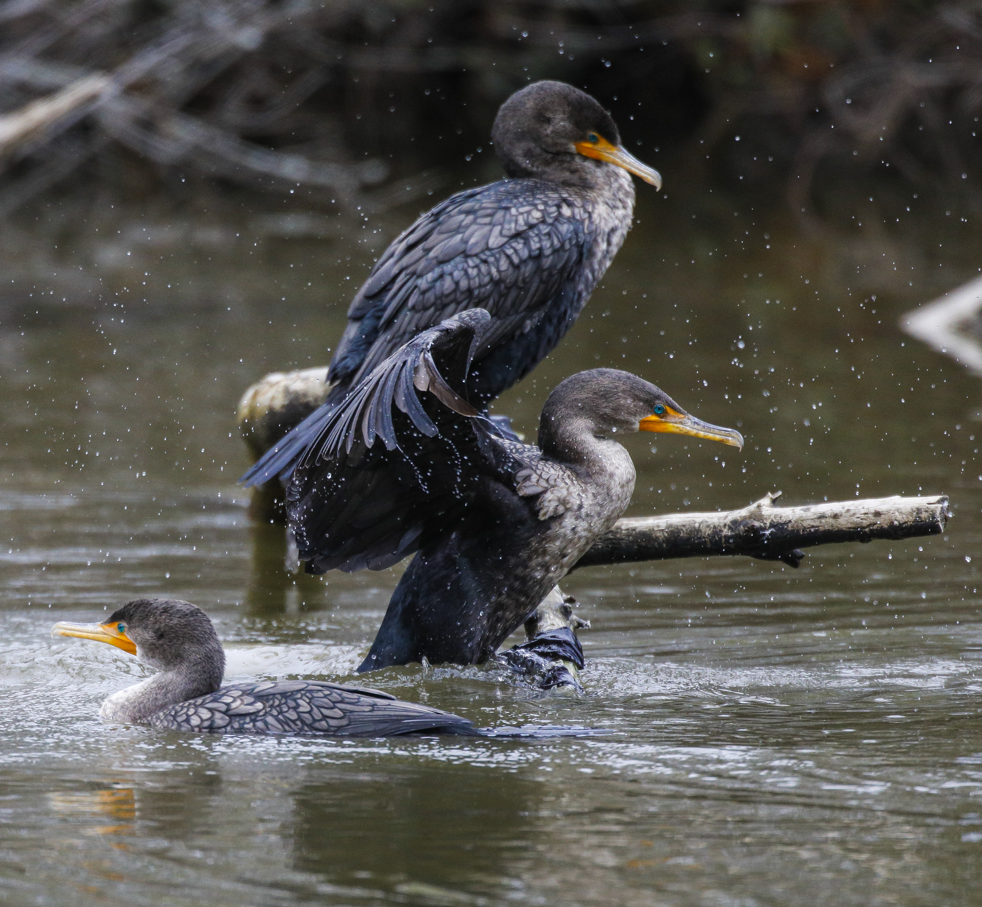 Cormorants on log