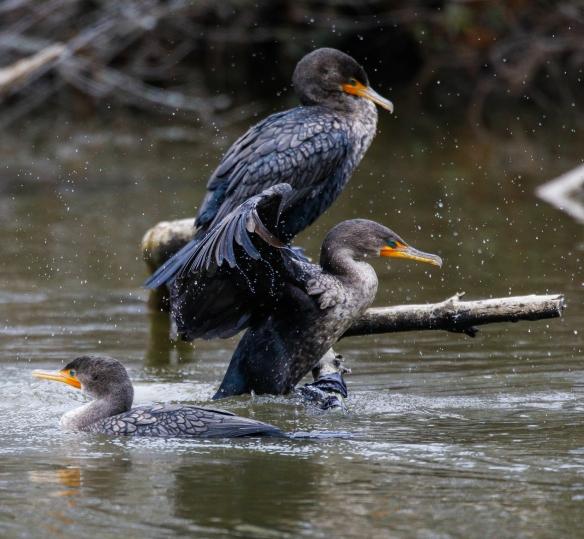 Cormorants on log