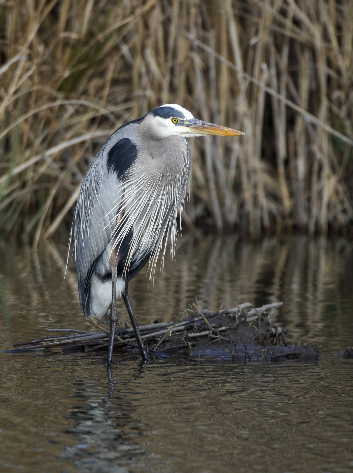 great blue heron at Mattamuskeet