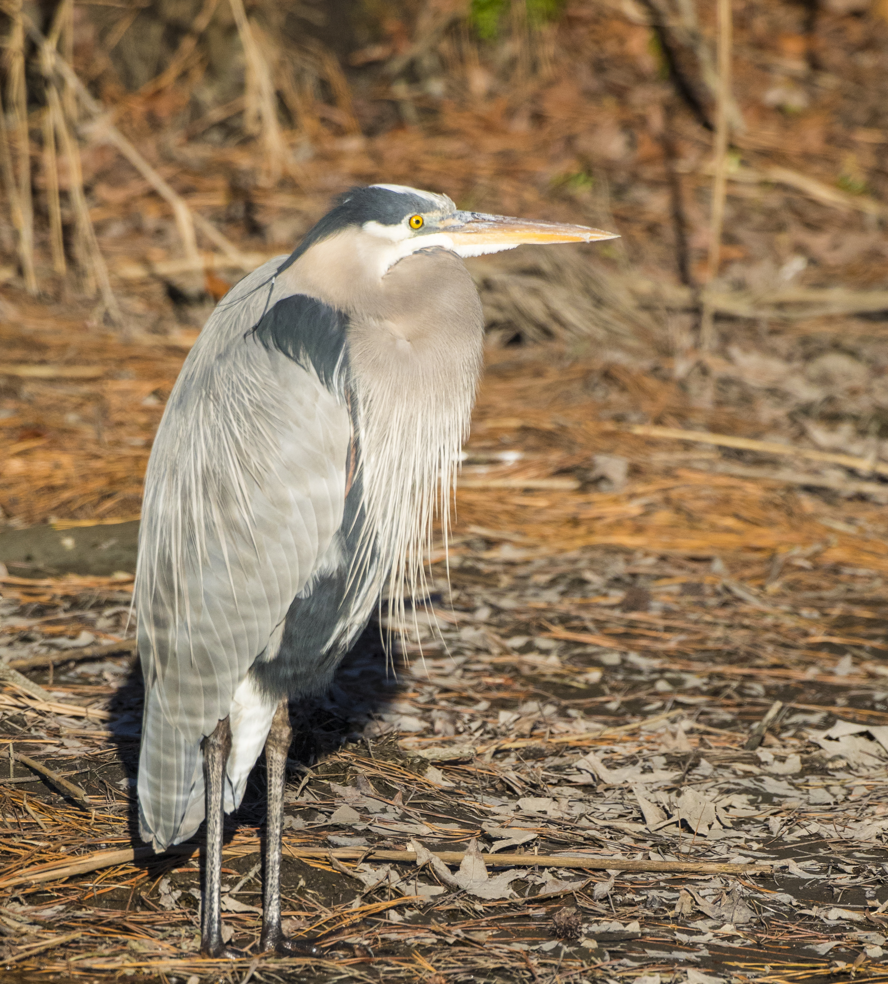 Great blue heron crop