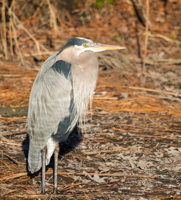 Great blue heron crop