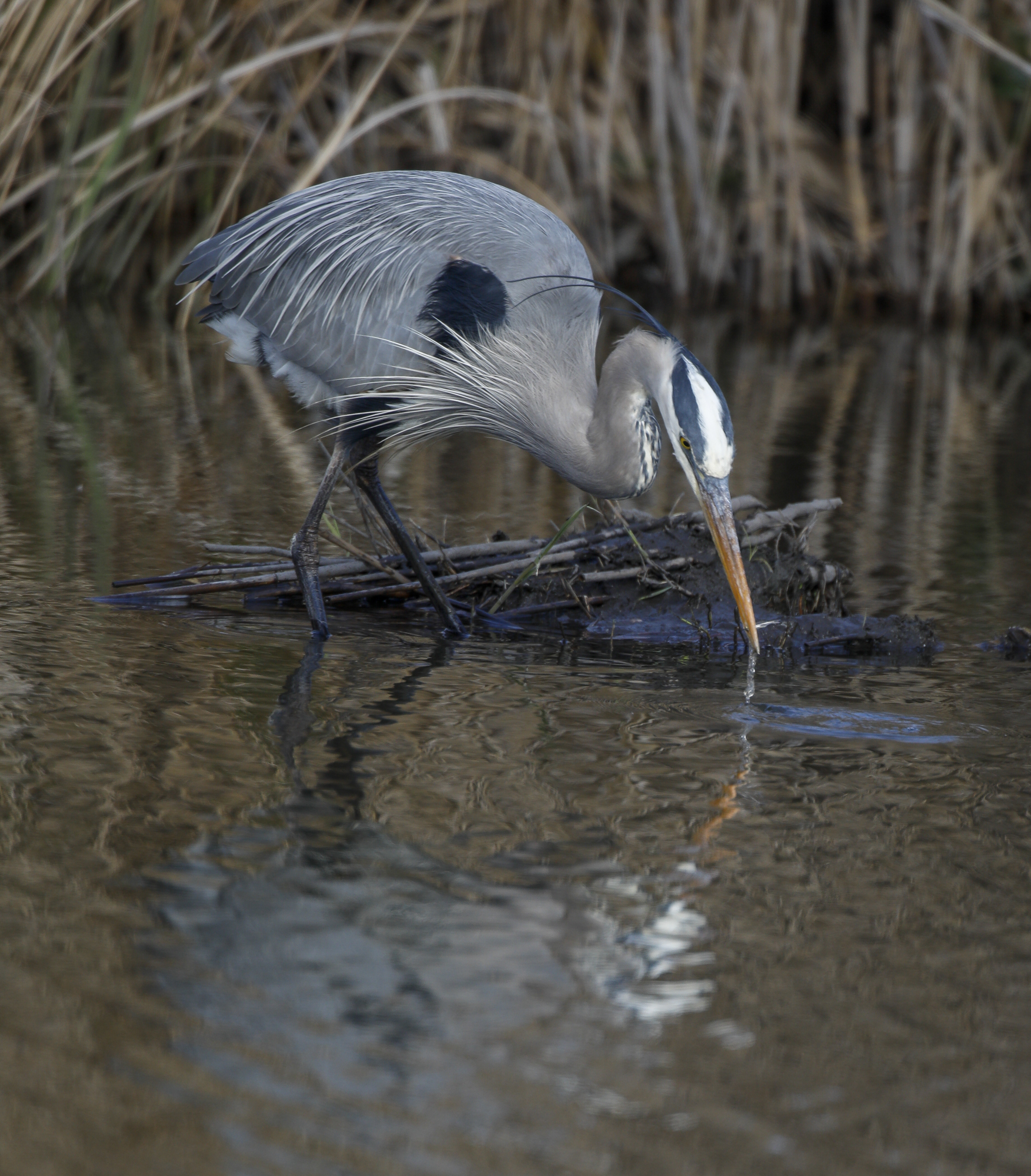 heron catching minnow