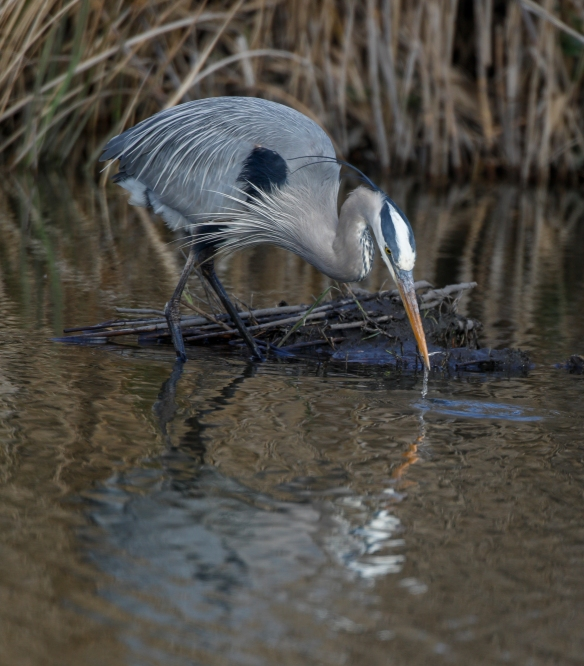 heron catching minnow