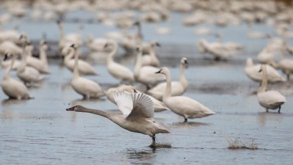 Juvenile tundra swan taking off
