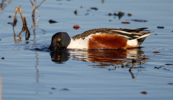 northenr shoveler drake