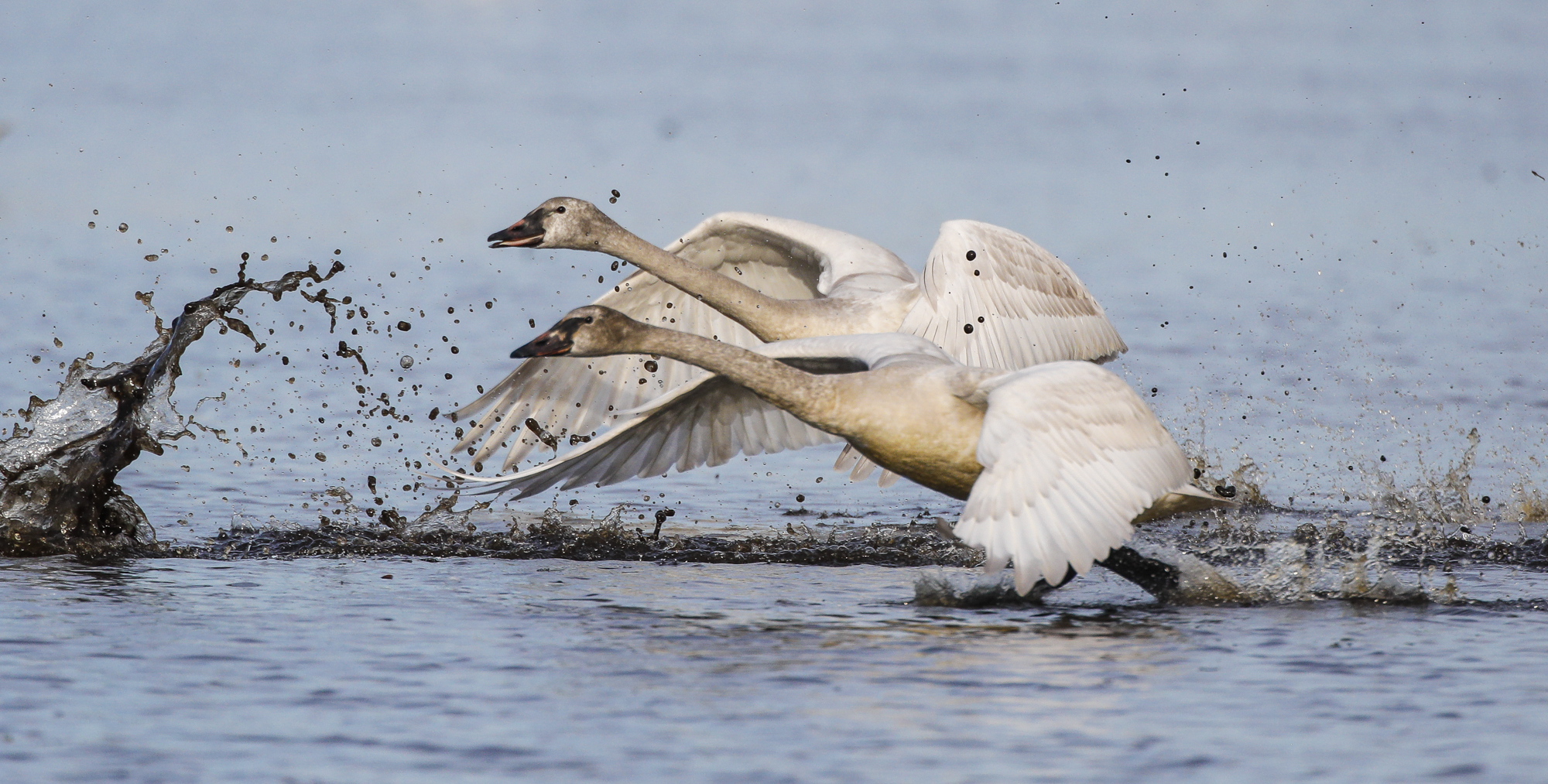 Pair of juvenile swans taking off