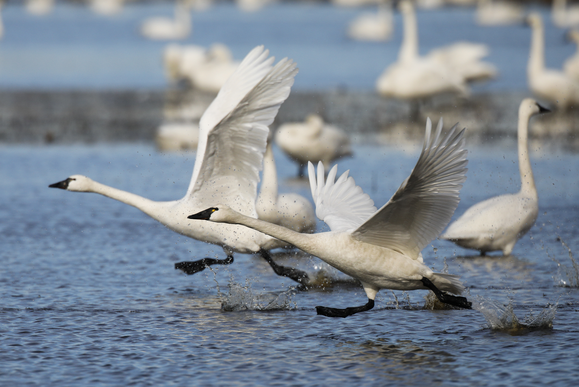 Pair of swans taking off